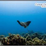 Adlerrochen beim tauchen in Curacao Divers Deutsche Tauchschule Tauchen Tauchurlaub Urlaub entspannen Unterwasser Non Limit Freiheit selbstständig Karibik