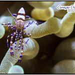 Makro Aufnahme einer Putzergarnele beim tauchen Curacao Divers Deutsche Tauchschule Tauchen Tauchurlaub Urlaub entspannen Unterwasser Non Limit Freiheit selbstständig Karibik