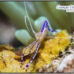 Curacao Tauchen Unterwasser Bild einer Putzergarnele UW Bild Curacao Divers Tauchen Tauchurlaub Urlaub entspannen Unterwasser