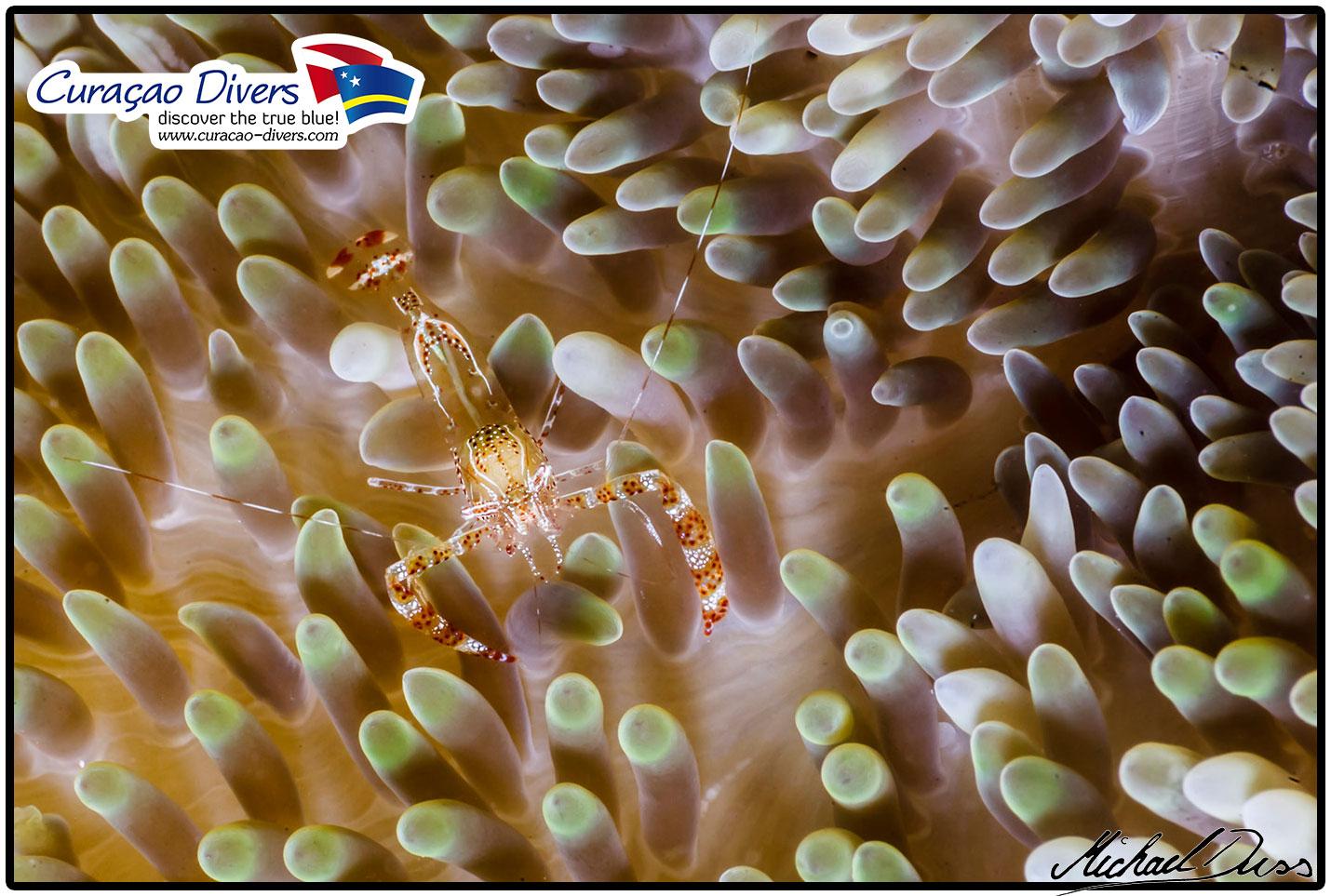 Eine Glasgarnele beim Tauchen in Curacao an dem Tauchplatz Sun Reef